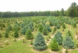 Frasier Christmas Tree Cutting by Where To Cut Your Own Christmas Tree 2012 All Over Albany