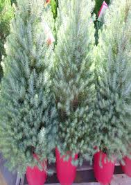 Best Live Christmas Trees For Allergies by Live Christmas Trees In Pots Best Images Collections Hd For