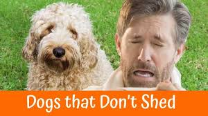 a review of the best 70 hypoallergenic dogs that don t shed small