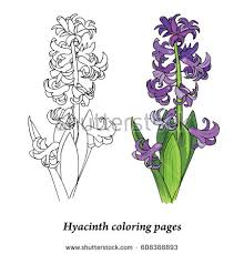 Hyacinth Coloring Pages Spring Flower Bulbous Plant Vector Illustration