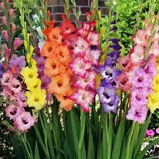gladiolus flower bulbs rainbow mix