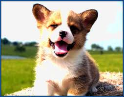 Best Mini Dogs That Dont Shed by Cute Small Dog Breeds That Don T Shed Apparel Dog Breeds Puppies