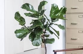 ficus lyrata pflanzenfreude