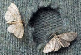 How to Get Rid of Moths 5 Home Reme s PestWiki