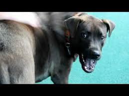 corso excessive shedding corso excessive shedding 20 images pitbull corso wooden pet