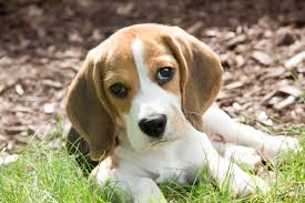 Top 10 Dogs That Dont Shed by 7 Things I Wish I Knew Before I Got The Puppy Plus Pumpkin Dog