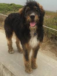 Dogs That Shed Very Little by Hc Bernedoodles About