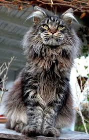 Do Maine Coons Shed Their Mane by 67 Best Maine Coon Cats Images On Pinterest Maine Coon Cats