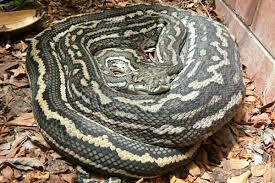 Coastal Carpet Python Facts by Carpet Python U2013 Meze Blog