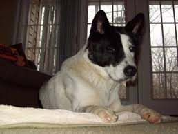 akita dog breed information and pictures