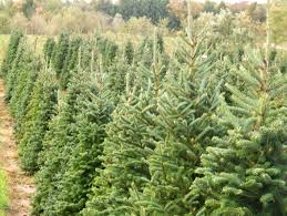 Christmas Tree Species Name by Aissen Tree Farm Kewaunee Wi Trees