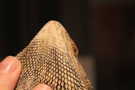 skin change pics included bearded dragon org