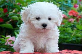 List Of Non Hypoallergenic Dogs by Top 15 Cutest Small Dogs That Don U0027t Shed Teacupdogdaily