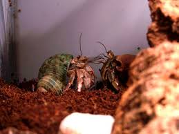 Do Hermit Crabs Shed Their Legs by Pre Molt Symptoms In Hermit Crabs