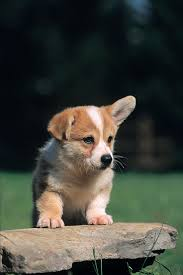 Do Shiba Dogs Shed by 100 Do Shiba Dogs Shed 6 Tips For Grooming Your German