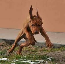 do vizsla dogs shed vizsla breed information breeds expert