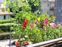 la culture de la tomate cerise pour le jardin et le balcon le