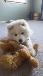 Do Samoyeds Shed All The Time by 896 Best Samoyeds Images On Pinterest White Dogs Animals And