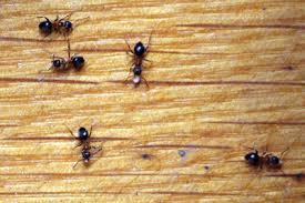 ameisen bekämpfen tipps gegen ameisen im haus garten