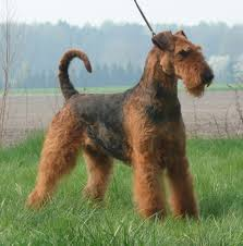 Do Airedale Puppies Shed by Airedale Terrier Breed Guide Learn About The Airedale Terrier