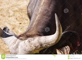 Bull Horns Stock Image. Image Of Wild, Animal, Male - 118117237 Mounted Horns Truck Bull Bars Grille Guards Push Protection Devices Or Posers 12v 115db Electric Air Horn Raging Sound Super Loud Car How To Build The Ultimate Bar Vintage Bullsteer Taxidermy Wall Haing United Pacific Industries Commercial Truck Division Silverback Chrome Stacks Curve 8 Od 5 Chevy Pickup Truck Superfly Autos Commits Suicide After Spanish Men Light Its Horns On Fire 12 Volt 4x4 Suv Cow Kit Farm I Couldnt Get A Better Picture But They Have Bull Jeep Wrangler Jk Rubicon With Your Pinterest Likes