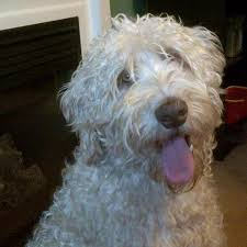 Do Wheaten Terriers Shed by Why Infuse Australian Labradoodles With The Wheaten Arrowhead