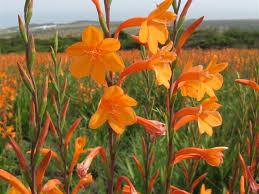 watsonia pillansii garden no 14 plants