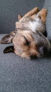cairn terrier shed hair 60 best border terrier images on puppies terrier