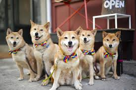 Do Shiba Dogs Shed by Grumpy Cat Move Over Dogs Snapping At Feline Heels In Battle For