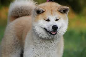 Does Akita Shed A Lot by The American Akita A Great Dog For The Right Person Wileypup Com