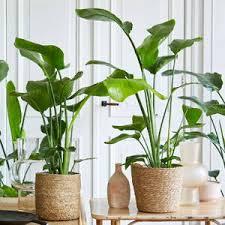 große zimmerpflanzen der in jedem raum bakker