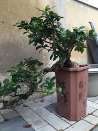 pot bonsai grande taille ficus semi cascade mes premiers bonsai présentation et