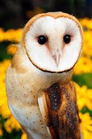 Bio-control Barn Owls | Wild View Barn Owl Looking Over Shoulder Perched On Old Fence Post Stock Eccles Dinosaur Park Carnivore Carnival The Salt Project Barn Moving Head Side To Slow Motion Video Footage 323 Best Owls Images Pinterest Owls Children And Free Images Wing White Night Animal Wildlife Beak Predator 189 Beautiful Birds Sat A Falconers Glove Photo Royalty Image Paris Owl 150 Pictures Snowy More