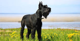 Do Giant Schnauzers Shed by Giant Schnauzer U2022 Expert Reviews Products Tips And Advice