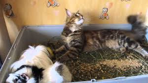 forest cat vs maine coon maine coon kitten vs guinea pigs