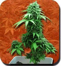 recolte cannabis exterieur date autofleurissantes du growshop alchimia