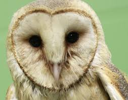 Wildlife Experts Shocked To Find Injured Michigan Barn Owl Thought ... Watch The Secret To Why Barn Owls Dont Lose Their Hearing 162 Best Owls Images On Pinterest Barn And Children Stock Photos Images Alamy Owl 10 Fascating Facts About Species List Az 210 Birds Drawing Photographs Of Cave By Tyler Yupangco 312 Beautiful Birds