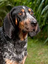 Do Black And Tan Coonhounds Shed by Bluetick Coonhound Breed Information