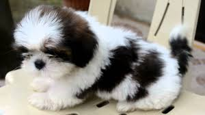 Black And White Shih Tzu Puppy