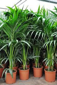 kentia palme tuff