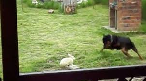 Rottweiler Finds Bunny In Backyard And Does The Unexpected ... Grumpy Senior Dog In The Backyard Stock Photo Akchamczuk To With Love January 2017 Friendly Ideas In Garden Pricelistbiz Portrait Of Female Boxer Dog Standing On Grass Backyard Lavish Toys For Dogs Toy Organization February Digging Create A Sandbox Just For His Digging I Like Quite Moments Fall Wisconsin Quaint Revival Yesterday Caught My Hole Today Unique Toys Architecturenice Cia Fires Since Sniffing Bombs Wasnt Her True Calling Time A View From Edge All Love Part Two