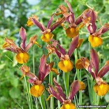 iris bulbs king american