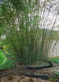 File:Bamboo Growing In Backyard Of New Jersey Gardener Springtime ... Install Bamboo Fence Roll Peiranos Fences Perfect Landscape Design Irrigation Blg Environmental Filebamboo Growing In Backyard Of New Jersey Gardener Springtime Using In Landscaping With Stone Small Square Foot Backyard Vegetable Garden Ideas Wood Raised Danger Garden Green Privacy For Your Decorative All Home Solutions Spiring And Patio Small Square Foot Vegetable Gardens Oriental Decoration How To Customize Outdoor Areas Privacy Screens
