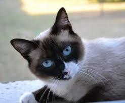 snowshoe cat snowshoe cat personality behavior and characteristics