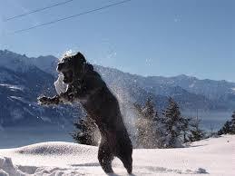Cane Corso Italiano Shedding by Cane Corso Snow Google Search Cane Corso Den Pinterest Dog