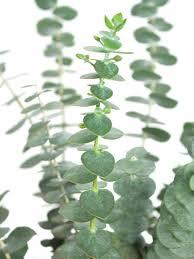 eukalyptus baby blue silber grün