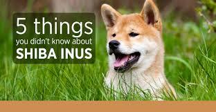 Do Shiba Dogs Shed by Shiba Inus