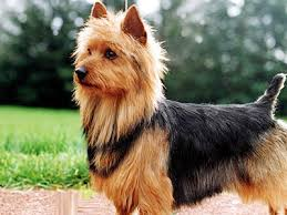 Small Non Shedding Dogs Australia by Australian Terrier Information Characteristics Facts Names