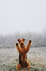 Airedale Terrier Non Shedding by 56 Best Airedale Terrier Images On Pinterest Airedale Terrier