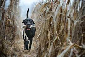Do Bluetick Coonhounds Shed by Shed Hunting Starting Your Dog Out The Right Way Part 1 Sportdog